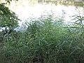 Xaverovský rybník I, rákosiny.jpg