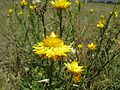Xerochrysum viscosum flowerhead1 QNR - Flickr - Macleay Grass Man.jpg