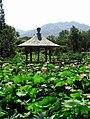 Xuanwulake lotus flowers.jpg
