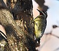 Yellow-bellied Sapsucker with very yellow belly (46382726361).jpg