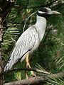 Yellow-crowned night heron.jpg