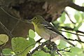 Yellow-throated Vireo National Butterfly Center Mission TX 2018-03-07 14-02-58-2 (25873254797).jpg