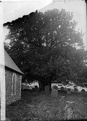 """Yew tree in Gwytherin church yard"""
