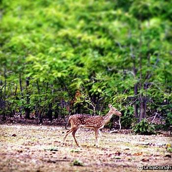 Young Deer of Nagzira Forest!.jpg