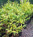 Z Bois de Canne seedlings - Warneckea trinervis - Ferney nursery.jpg