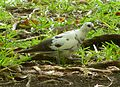 Zebra or Barred Ground Dove. Geopelia striata. Pied sport - Flickr - gailhampshire.jpg