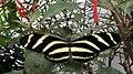 Zebravlinder Heliconius charithonia.jpg