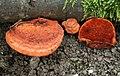 Zinnober-Tramete Pycnoporus cinnabarinus.jpg