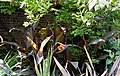 'Cannaceae' Canna (genus) in border at Quex House Birchington Kent England.jpg