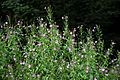 'Epilobium hirsutum' Great Hairy Willowherb on Elham Valley Way in Barham Kent England.jpg