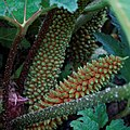 'Gunnera manicata' fruiting body Capel Manor College Gardens Enfield London England (cropped).jpg