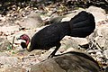 (1)Lane Cove River Brush Turkey 016.jpg