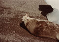(Jubany) Recuento de mamíferos (17).png