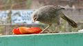 (Turdoides affinis) White headed babbler eating a Papaya slice 03.JPG