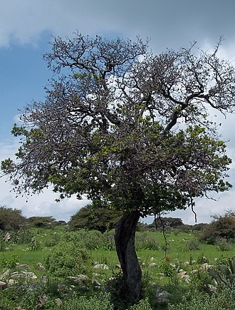 Tequixquiac - Tejocote tree, a native plant on Mesa Ahumada