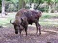 Żubr kaukaski (górski) - Bison bonasus caucasicus - Wisent (European bison) - Wisent (Europäische Bison) (1).JPG