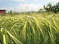 Јачмен МК 03.jpg
