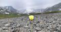 Альпийский мак в Хибинах.jpg