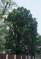 Виноградів, дуб на вулиці Тюльпанів.jpg