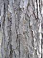 Гимнокладус - кора.jpg