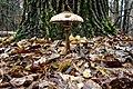 Гриб-зонтик великий Macrolepiota procera.jpg