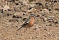 Зяблик - Fringilla coelebs - Common chaffinch - Обикновена чинка - Buchfink (25428949380).jpg