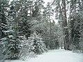 Конаковский Бор в январе (The Konakovo's pine forest) - panoramio.jpg