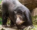 Очковый медведь.jpg