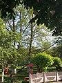 Платани-кучерики, територія дитячого садка №3.jpg