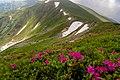 Червона рута. Чорногірський хребет. Фото 2.jpg