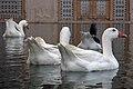 غاز -Geese 09.jpg