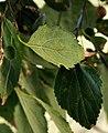 აკაკი სამხრეთული Celtis australis südlicher Zürgelbaum 3.JPG