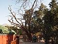 九龙柏 - Nine-dragons Cypress - 2012.04 - panoramio.jpg