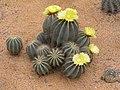 仙人掌-英冠玉 Notocactus magnificus -北京花卉大觀園 The World Flower Garden, Beijing- (9216066874).jpg