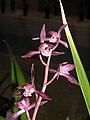 報歲櫻妃 Cymbidium sinense -香港沙田國蘭展 Shatin Orchid Show, Hong Kong- (12235102185).jpg