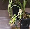 夏寒蘭 Cymbidium kanran v aestvale -香港沙田國蘭展 Shatin Orchid Show, Hong Kong- (9255175752).jpg