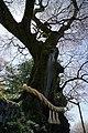 大藪のひがん桜(ひょうたん桜) - panoramio.jpg