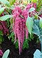 尾穗莧 Amaranthus caudatus -新加坡濱海灣花園 Gardens by the Bay, Singapore- (14912743664).jpg