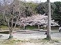 明石公園の桜 - panoramio - kcomiida.jpg