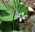 星果草 Asteropyrum peltatum -日本大阪鮮花競放館 Osaka Sakuya Konohana Kan, Japan- (42205789631).jpg