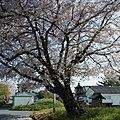 橿原市四分町にて Cherry tree in Shibu-chō 2012.4.12 - panoramio (1).jpg