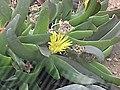 舌葉花屬 Glottiphyllum oligocarpum (?) -倫敦植物園 Kew Gardens, London- (9213294787).jpg