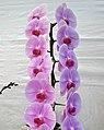 蝴蝶蘭 Doritaenopsis Sogo Yoshida x Hwafeng Redjewel -香港花展 Hong Kong Flower Show- (33676798622).jpg