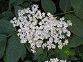 西洋接骨木 Sambucus nigra -英格蘭 Woking, England- (9240257872).jpg