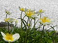 雪と花(Flowers ^ Snow) - panoramio.jpg