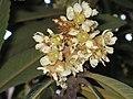雲南枇杷 Eriobotrya bengalensis -昆明世博園 Kunming Expo Garden, China- (9237502705).jpg