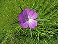 麥仙翁 Agrostemma githago -維也納大學植物園 Vienna University Botanical Garden- (28361147405).jpg
