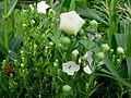도라지 꽃 ( 2 ).jpg