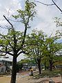 진안이팝나무 3.jpg