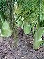 -2019-05-17 Crop of fennel bulbs, Trimingham.JPG